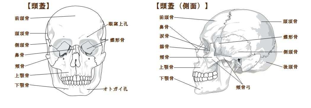 頭蓋骨 図